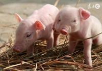 剛生3-7天小豬拉肚子?溫水+強龍腸泰就能化險為夷!