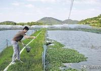 小龍蝦養殖池塘底質怎樣才算差?又該怎麼改良?我來告訴你