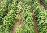 既能高產,抗病力又強的朝天椒有哪些品種?
