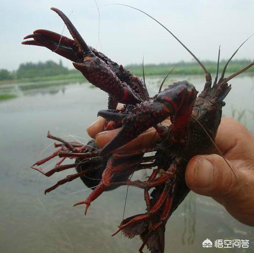 原來農村野塘、水溝裡到處可以看到小龍蝦,為什麼現在越來越少了?