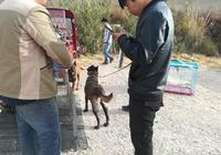 男子想要購買巴哥犬,當商販用毛巾抱起介紹時,卻一直弄手機!