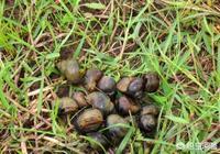 農村的田螺怎麼養殖?