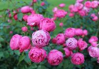 月季這樣養開花更多,花期更長?葉片油亮,花朵高雅迷人