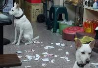 主人出門回家發現滿地垃圾,兩隻狗狗扭頭裝蒜,這都怪主人嗎