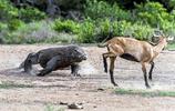 動物王國:科莫多巨蜥捕殺小羊羔,畫面殘酷而血腥