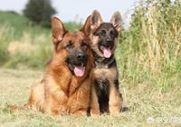 德國牧羊犬有哪些優缺點?