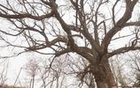 千年古槐下的老村裡,有株當地人都叫不出名的百年灌木,你認識嗎