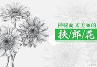 素描花卉——扶郎花