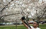 春暖櫻花開