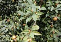 油茶樹下種植什麼好?