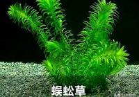 魚缸想放水草又怕養不活咋辦?這兩種水草耐養,丟魚缸裡可不用管