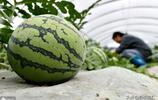 安徽中垾大棚西瓜5月批量上市,好吃不貴,吃貨們有口福了!