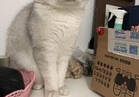家裡三隻貓懷孕,布偶貓每天只睡覺,銀漸層小花卻像變了一隻貓