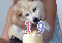 日本一隻年近20歲柴犬的日常,當狗狗老了你還願意照顧它嗎?