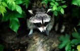 動物圖集:浣熊