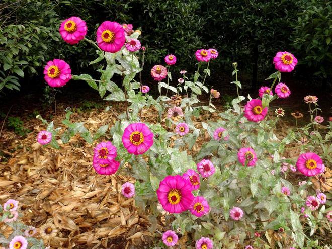 """百日草得名""""步步高"""",葉子、種子和花均可入藥,可謂渾身是寶"""