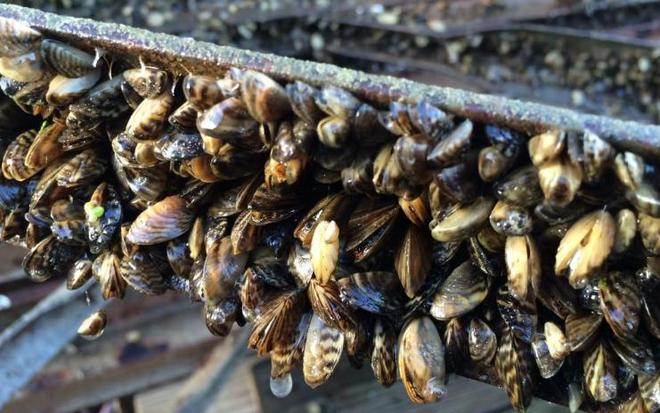 實拍:美國五大湖的物種入侵,中國吃貨也解決不了的貽貝