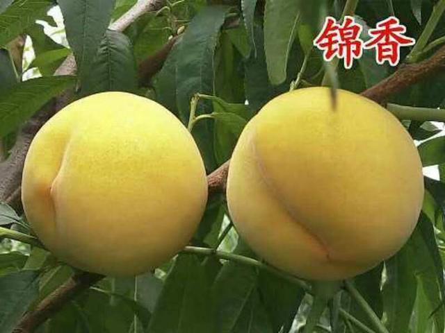 蒙陰黃桃——桃中貴族