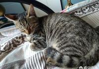狸花貓是一種什麼樣的貓咪?