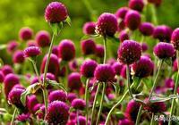 花期特別長的千日紅,在家裡種植,需要怎麼養護呢
