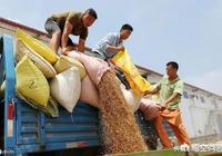 對於今年小麥地頭價1.1元/斤,您如何看待這個行情?