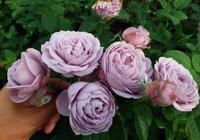 39種藍紫色月季