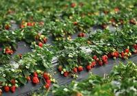 草莓移栽定植後生長緩慢,原因出在哪裡,有啥有效的解決辦法呢?