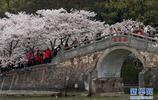 江蘇無錫太湖黿頭渚風景區櫻花進入盛花期,眾多遊客前來賞櫻遊玩