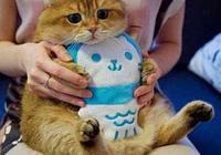 橘貓一直都是大胖子,把毛剃了後,主人:我錯怪你了!