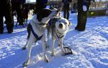 動物圖集;瑞典狗