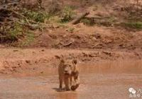 獅子看到無頭大象,連獅子都不好下手了