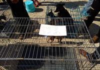 狗市:商販出售小鹿犬價格低廉送籠子,卻仍然生意慘淡!