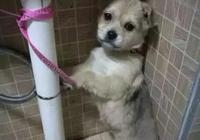 網友從狗販手中救下一隻小土狗,幾個月後,狗子突然對他笑了....