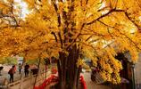 北京最古老的十大銀杏樹,歷經五朝已有千年歷史,正是最佳觀賞期