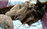 貓咪出門一夜未歸,再回家時帶了8只刺蝟,主人哭笑不得