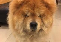 主人帶松獅犬到美容店剃毛髮,剃完後狗狗氣得險些崩潰