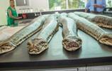 43條大蟒蛇被捕殺