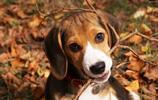 狗狗中十大對兒童最友善的犬種,看了都喜歡養