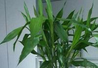 """想養好富貴竹,水裡加1種""""小藥片"""",葉子油綠,根系旺盛!"""