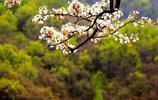 房山山溝裡隱藏著仙境般小山村,春天裡,盛開的梨花如堆雪一般!