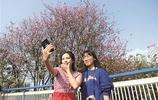 龍城柳州紫荊花開正好,它們就是這條街上開得最豔的那些花兒