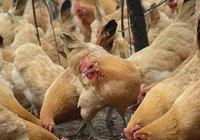 做完疫苗後,雞群出現呼吸道,該怎麼辦?(養雞人學習)