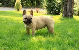 動物圖集:法國的鬥牛犬