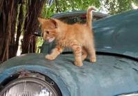 古巴藍,哈瓦那棕,你所不知道的古巴貓