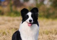 為什麼邊境牧羊犬不能夠做警犬呢?