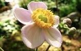 消失的希望——銀蓮花