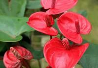 紅掌養的都像樹一樣壯,就是不開花,啥原因?