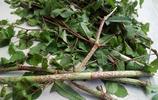 農村一植物藥用價值挺高,用到的時候不好找,值得收藏!