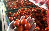 我的發小辦了個聖女果農民種植專業合作社