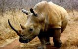 動物圖集:犀牛